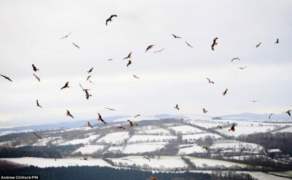 Red Kites [Archive] - PNE