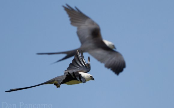 Swallow-tailed Kites of