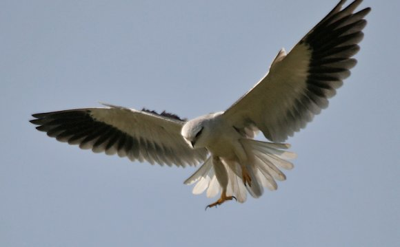 White Kite bird