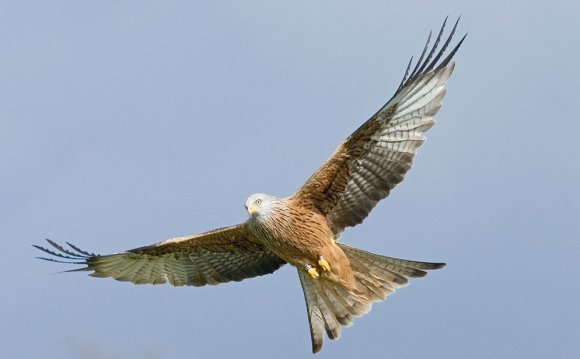 Wingspan of red Kite
