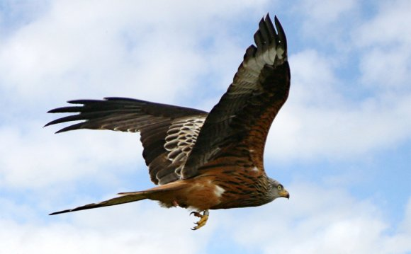 Red Kite flying