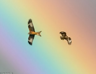 Red Kites swoop across a stunning rainbow in Wales, caught by a self-taught photographer