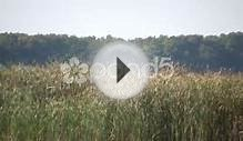 Dry Tallgrass Sways In Wind On Sunny Day (High Definition