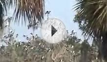 Swallow-tailed Kite roost in Florida 30 Jul 2005