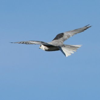 White-Tailed Kite -