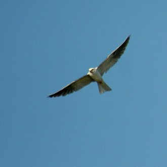 White-Tailed Kite - Goleta, CA