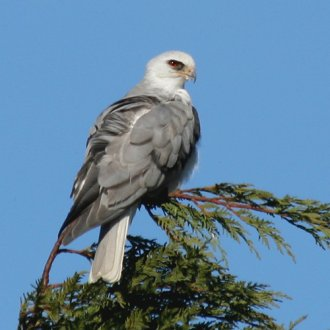 White-Tailed Kite|Guadalupe, CA